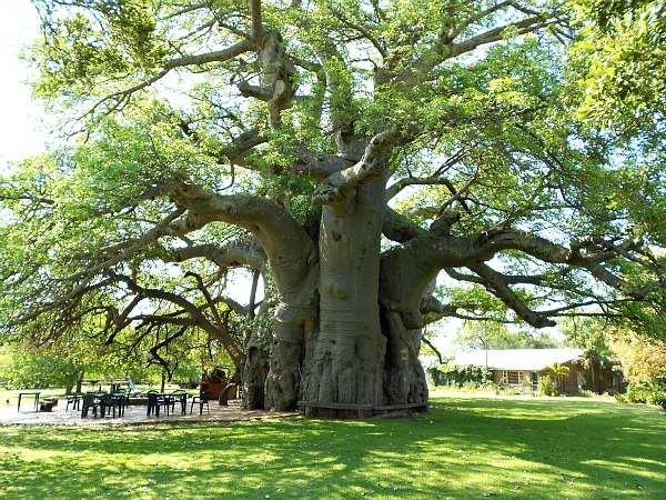 Mơ thấy cây cổ thụ là điềm báo điều gì?