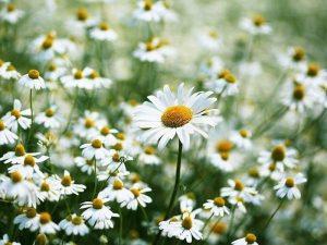 Mơ thấy hoa cúc là điềm lành hay dữ? Đánh con gì may mắn?