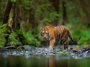 Ngủ mơ thấy hổ là điềm báo gì?