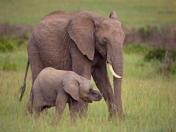 Giải mã ý nghĩa giấc mơ thấy voi