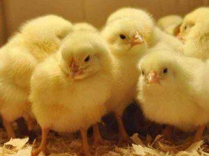Nằm mơ thấy gà con đánh con gì trúng lớn?