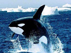 Ngủ mơ thấy cá voi là điềm hung hay cát? Ghi đề con gì?