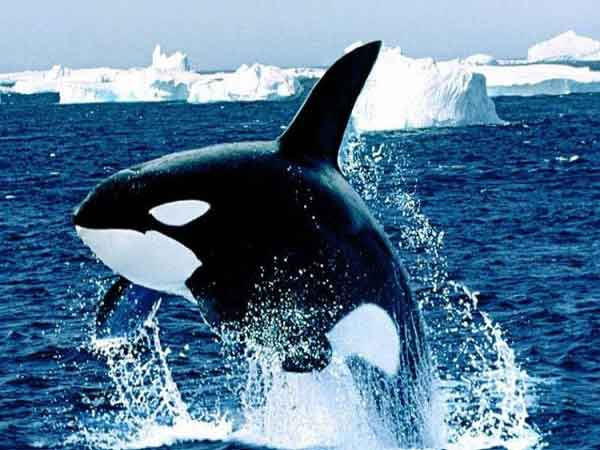 Nằm ngủ mơ thấy cá voi đánh con gì?