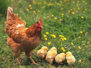 Mơ thấy gà mái đánh con gì, điềm báo lành hay dữ?