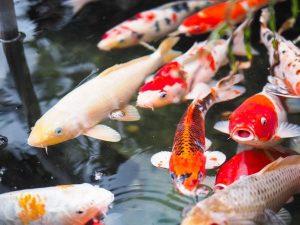 Mơ thấy cá chép đánh con gì, điềm báo lành hay dữ?